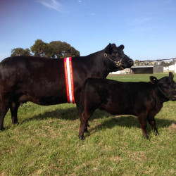 2014 Adelaide Show -Glen Lonney Georgy Girl & Kismet- Senior Cow