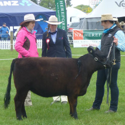 2015 Canterbury - Ashmore Chantilly -Yearling Heifer