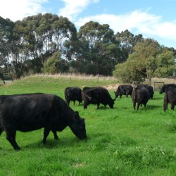 Lowline Cattle Stud Breeding