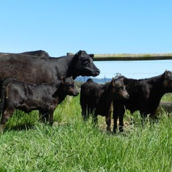 3 calves with E384- Tarrawarra Stud