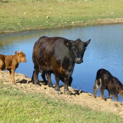 COW & calves DECEMBER 2015 - McIntosh Creek Lowlines