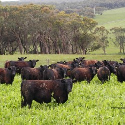 Commercial steers in Chicory
