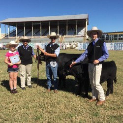 Crimson Park Lowlines winning at Beef 2015 Rockhampton