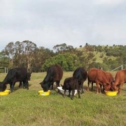 Happy cows - Mcintosh Creek Lowlines