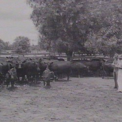 Trangie Cattle 1951