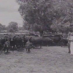 Trangie Cattle 1951
