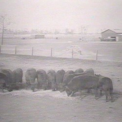 Trangie Feeding Time 1929