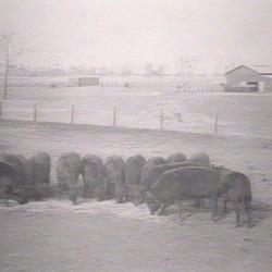 Trangie Feeding Time 1929
