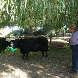 On Farm Challenge - Judge assessing cattle
