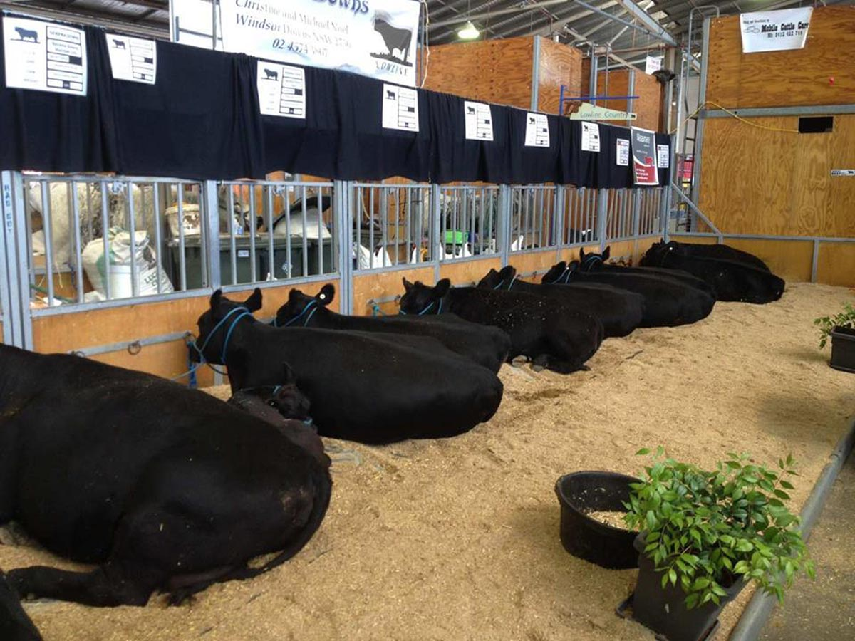 Photo of cows in show stall at Sydney