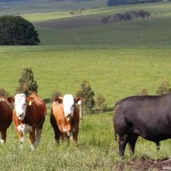 Sim heifers & Ardrossan Richmond- Ardrossan Lowline Stud