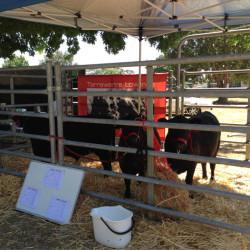 Tarrawarra Lowlines at Lardner Park Beef Week 2014