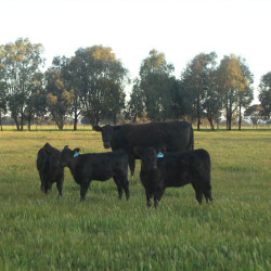 Ashmore Chantilly - Yearly Heifer