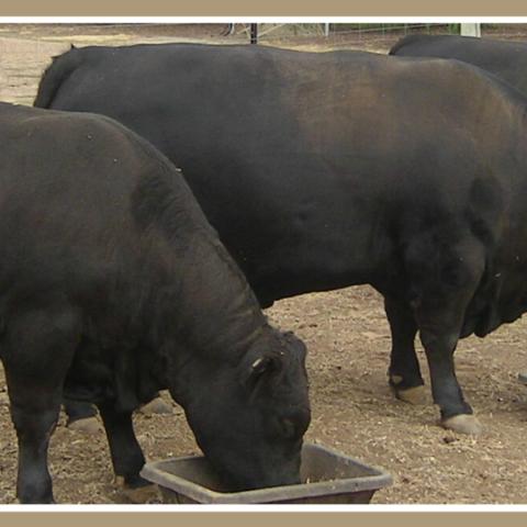 Lowline Cattle Breed Standards