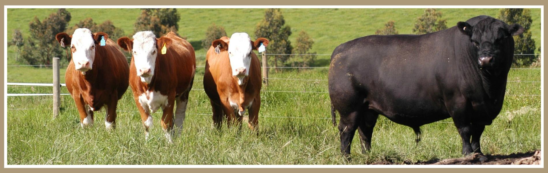 Lowline Cattle Breed Testimonials